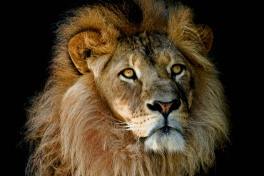 What Mel Did - Male lion